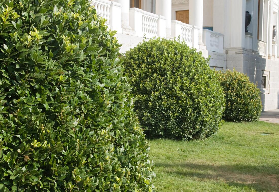 affordable shrub and hedge pruning